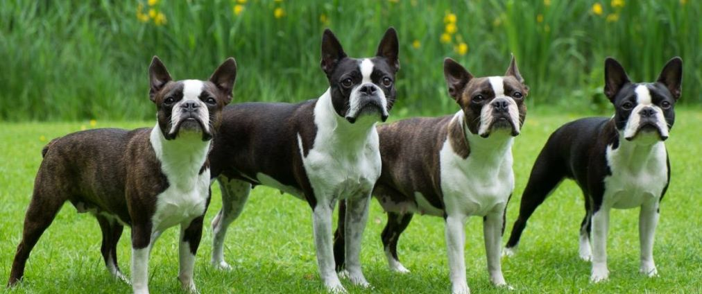 Home Der Boston Terrier
