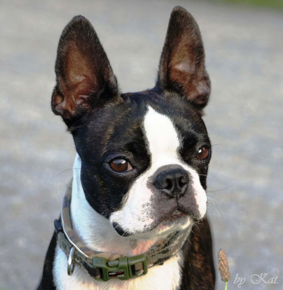 B Is For Boston Terrier Boston Terrier - Der B...