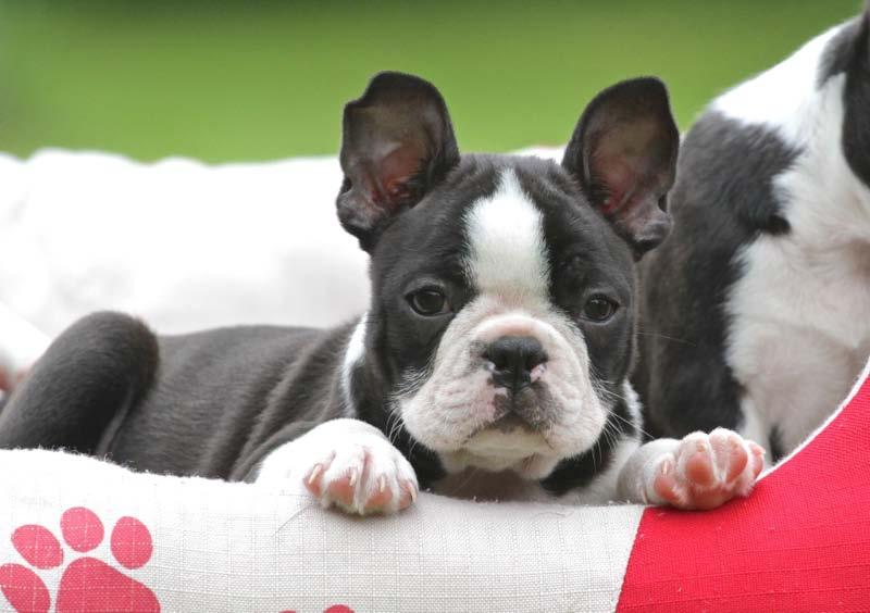 Tipps Fur Welpenkaufer Der Boston Terrier