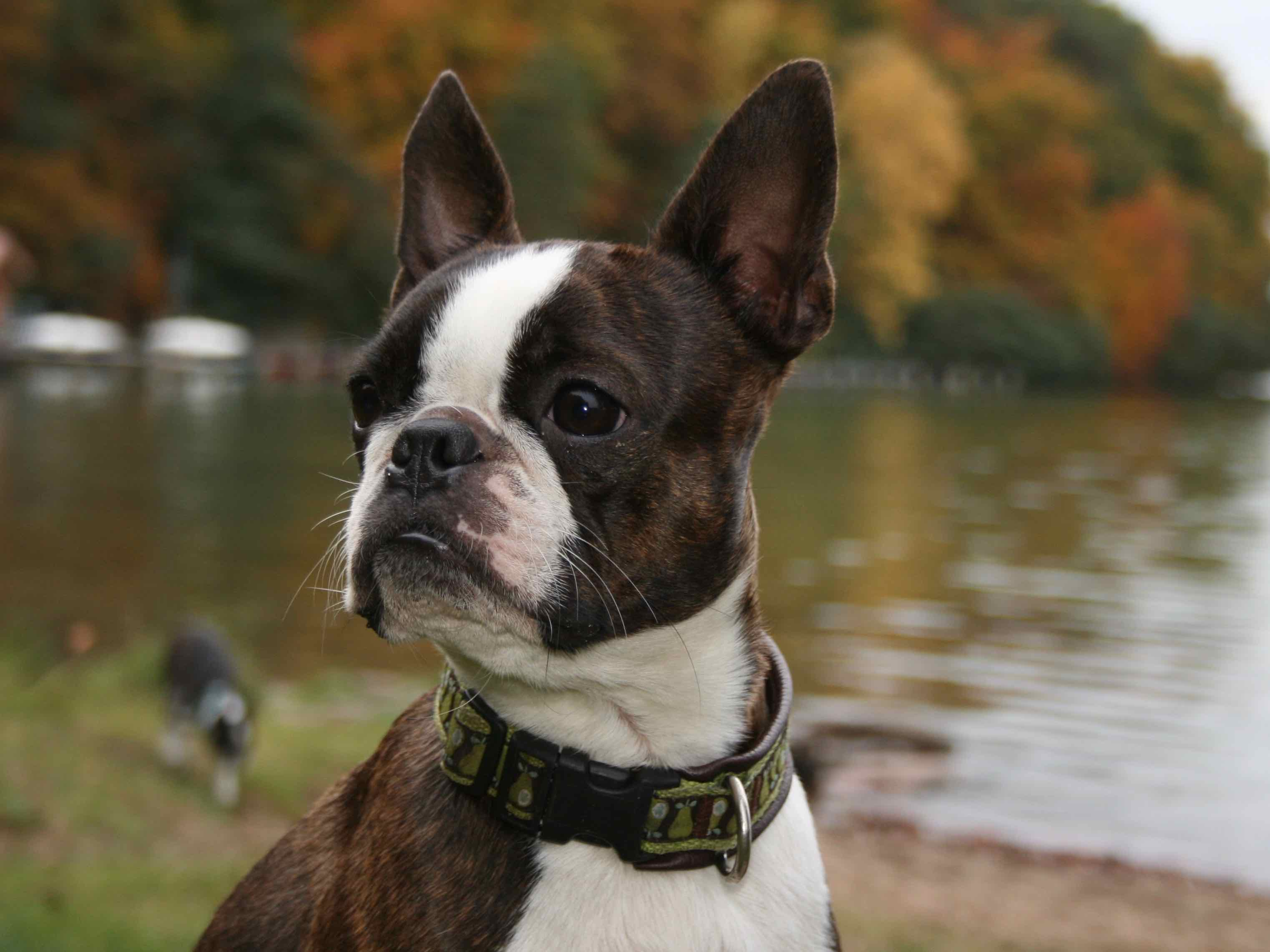 c0bf6ccb ... nagler til m - https://www.der-boston-terrier. ...