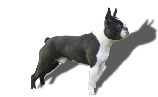 Der Boston Terrier